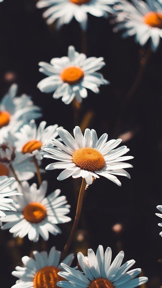 Hình nền điện thoại hoa cúc trắng đẹp